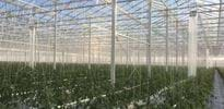 Fri Ell Greenhouse Phase I (5) - Gakon Horticultural Projects - Turn-key Greenhouse Projects