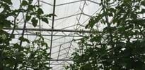 Madigan Fresh Produce 10000 m3 (2) - Gakon Horticultural Projects - Turn-key Greenhouse Projects