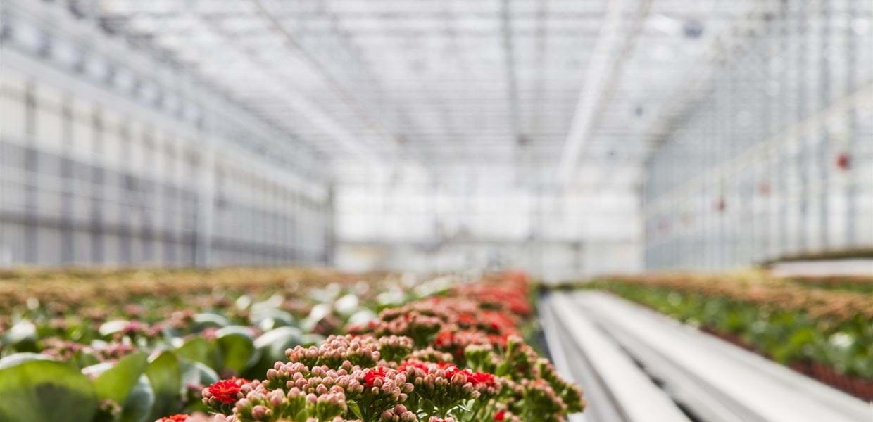 Solis plant (1) - Gakon Horticultural Projects - Turn-key Greenhouse Projects