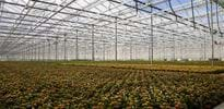 Solis plant (6) - Gakon Horticultural Projects - Turn-key Greenhouse Projects