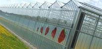 Wolssdorfer Beerenproduktions (2) - Gakon Horticultural Projects - Turn-key Greenhouse Projects