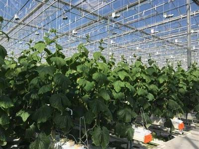 KGP SIGG (2) - Gakon Horticultural Projects - Turn-key Greenhouse Projects